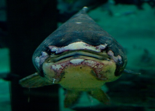 One ugly fish, in a staring contest.