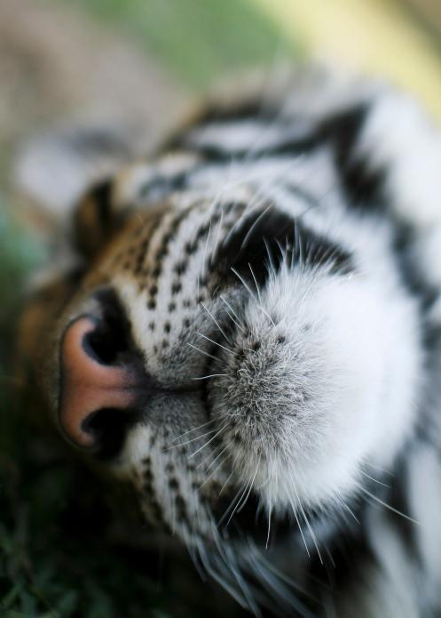 Tiger caught sleeping.